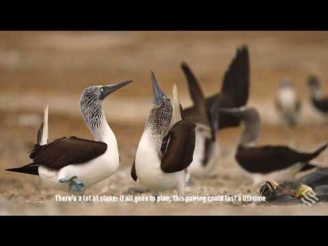 Galapagos Highlight: The Blue-Footed Boobies Dance