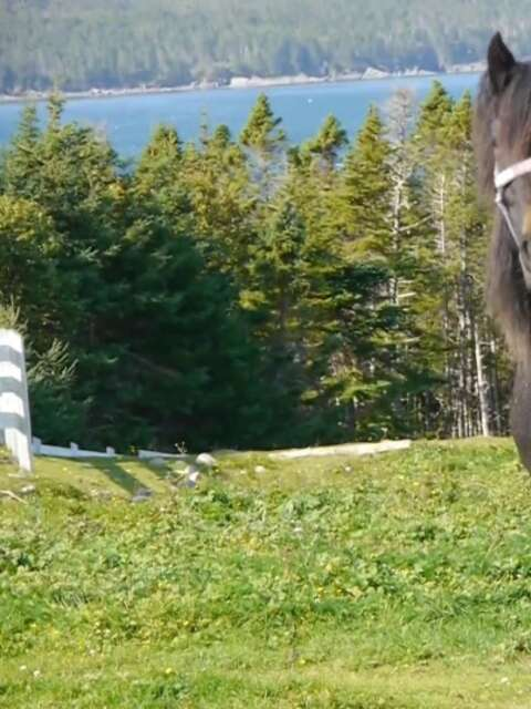 Newfoundland Ponies Are The Joy We All Need Right Now
