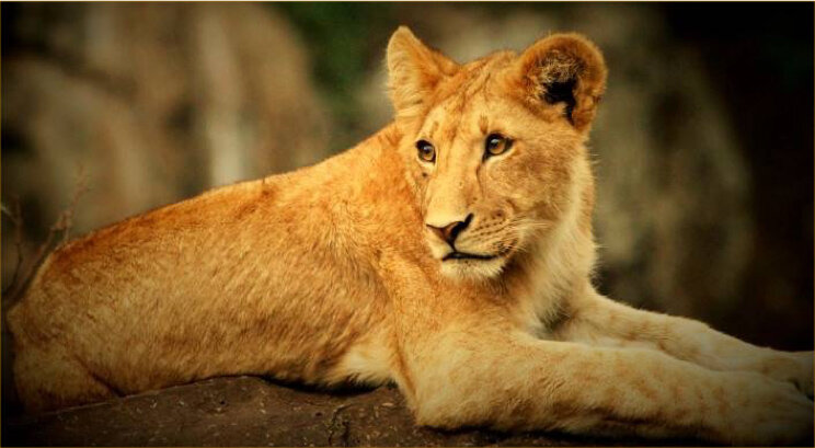 Lion - The Tarangire Valley