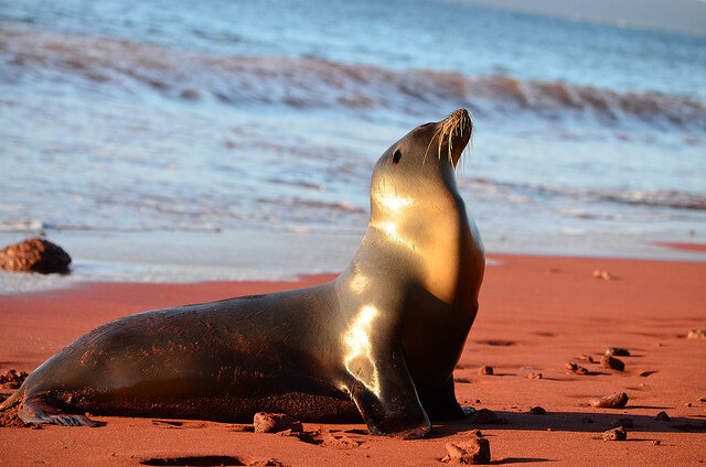 """Sea Lion, Galapagos Islands"" by Paul Krawczuk is licensed under CC BY 2.0"