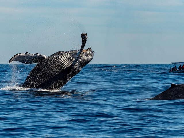 Tonga Whale Swim Trip