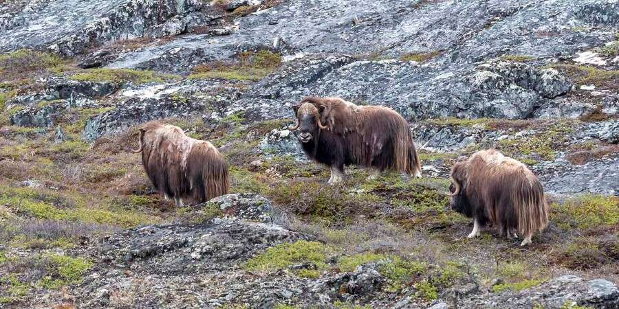 Musk Oxen and a Norse Settlement - Ivittuut - Half Day