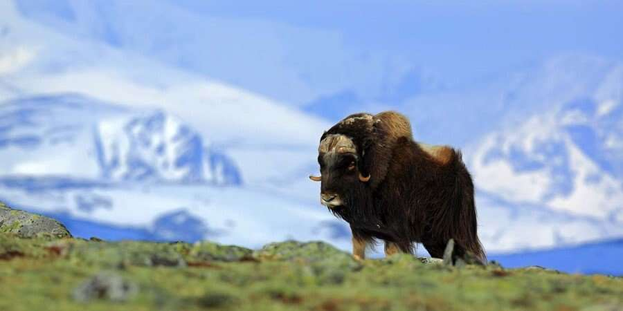 Musk Oxen and a Norse Settlement - Ivittuut