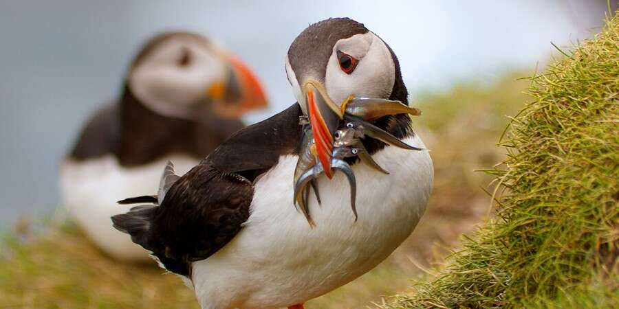 Birder's Paradise  - Mykines, Faroe Islands