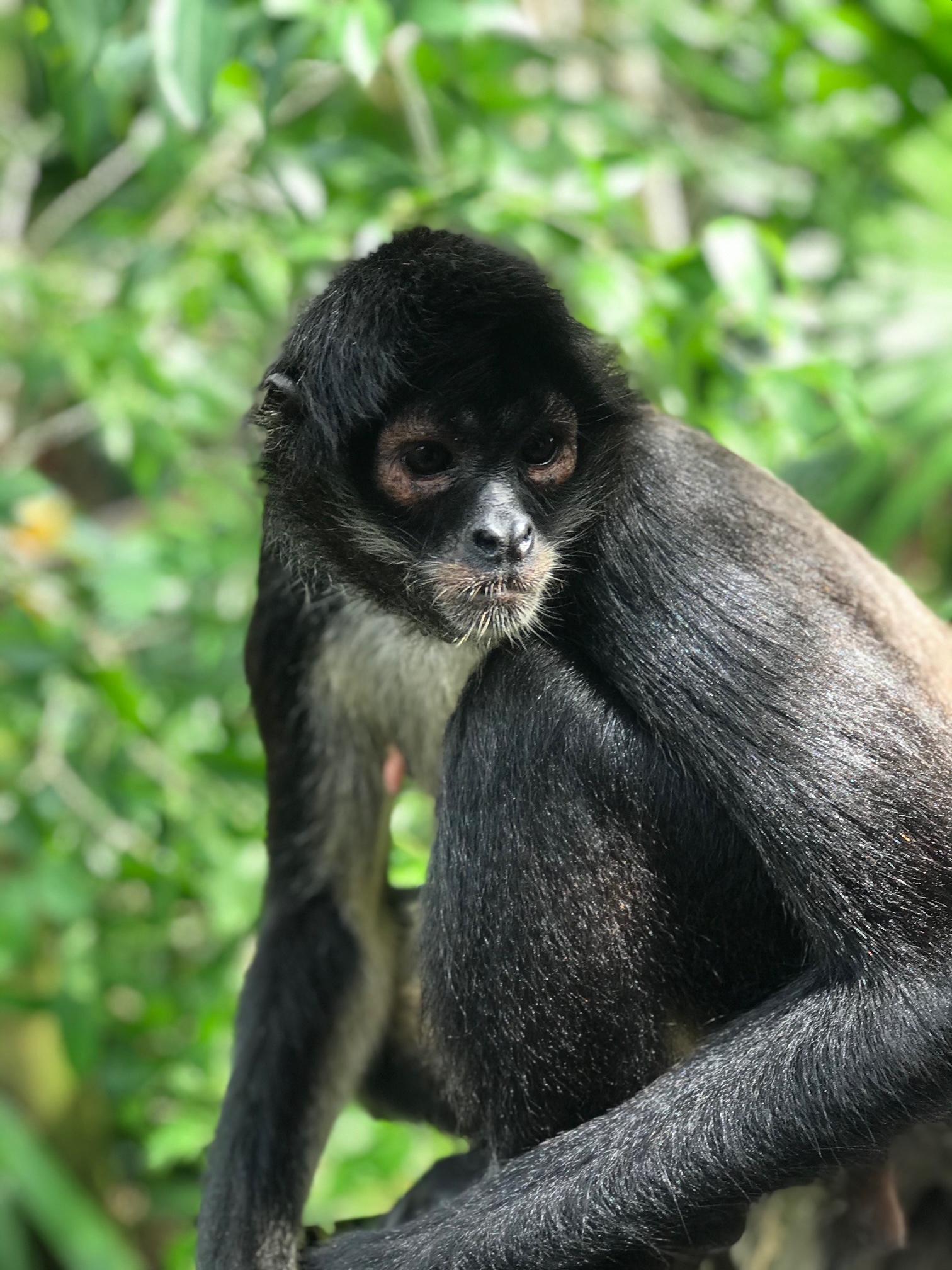 Spider Monkey - Sandos Caracol Resort