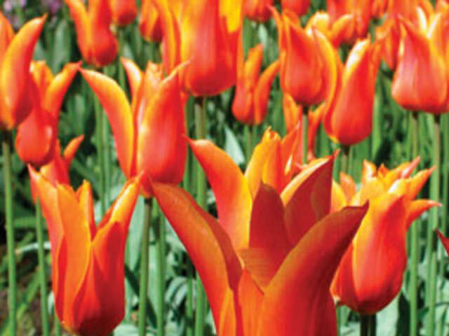 Tulip Time Cruise for Garden & Nature Lovers